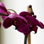 Purple-Orchid-by-Sheena-LaShay-572x378